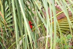 Northern Cardinal (Cardinalis cardinalis) Royalty Free Stock Images