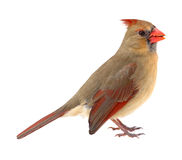 Northern Cardinal, Cardinalis cardinalis, isolated Royalty Free Stock Photography