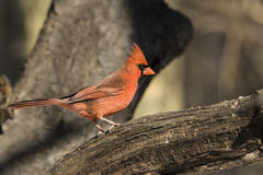 Northern cardinal ,Cardinalis cardinalis, male Royalty Free Stock Photo
