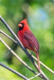 Northern Cardinal (Cardinalis cardinalis) Stock Photos