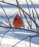 Northern cardinal,Cardinalis cardinalis Stock Photo