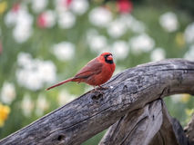 Northern cardinal ,Cardinalis cardinalis. Is a North American bird in the genus Cardinalis; it is also known colloquially as the redbird or common cardinal Royalty Free Stock Image