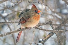Northern cardinal ,Cardinalis cardinalis. Is a North American bird in the genus Cardinalis; it is also known colloquially as the redbird or common cardinal Royalty Free Stock Photography