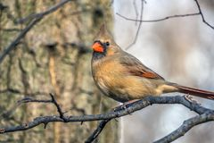 Northern cardinal ,Cardinalis cardinalis Royalty Free Stock Photo