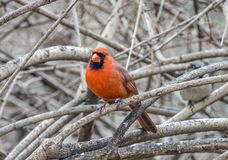Northern cardinal ,Cardinalis cardinalis. Is a North American bird in the genus Cardinalis; it is also known colloquially as the redbird or common cardinal Stock Photography
