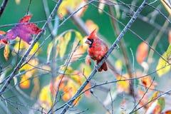 Northern Cardinal Cardinalis cardinalis perched on a branch Royalty Free Stock Image