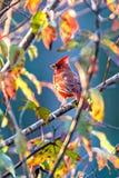 Northern Cardinal Cardinalis cardinalis perched on a branch Stock Photos