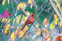 Free Northern Cardinal Cardinalis Cardinalis Perched On A Branch Royalty Free Stock Photos - 83087078