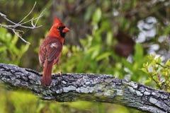 Northern Cardinal, Cardinalis cardinalis, perched in tree. A Northern Cardinal, Cardinalis cardinalis, perched in tree royalty free stock images
