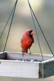 Northern Cardinal - Cardinalis cardinals Stock Images