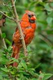 Northern Cardinal - Cardinalis cardinalis. Juvenile male Northern Cardinal perched on a branch. Ashbridges Bay Park, Toronto, Ontario, Canada royalty free stock photography