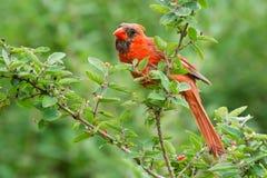 Northern Cardinal - Cardinalis cardinalis. Juvenile male Northern Cardinal perched on a branch. Ashbridges Bay Park, Toronto, Ontario, Canada stock photos