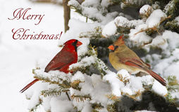 Northern Cardinal Christmas card Stock Photography