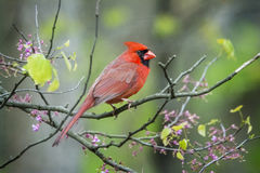 Northern Cardinal. Close up photo of a Northern Cardinal bird perched on a blooming red bud tree branch Royalty Free Stock Photo