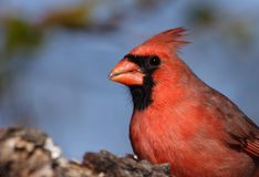 Northern Cardinal Closeup. The Northern Cardinal or Redbird is probably one of most popular visitors to backyard bird feeders. Its range extends over most of the Stock Photo