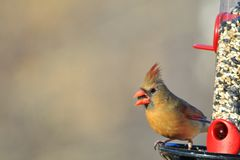 Northern Cardinal - Colorful Bird Background - Life is about eating. A female Northern Cardinal poses at a bird-feeder, as seen in Saint Louis, Missouri, USA Royalty Free Stock Photo
