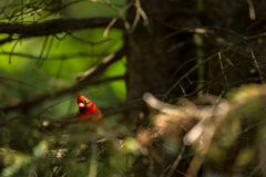 Northern cardinal Stock Photography