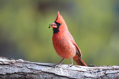 Northern Cardinal Eating Seeds. A male Northern Cardinal (Cardinalis cardinalis) perching on a branch eating seeds stock photography