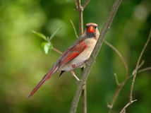 Northern Cardinal, Female Stock Photography