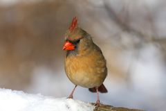 Northern Cardinal female Royalty Free Stock Photography