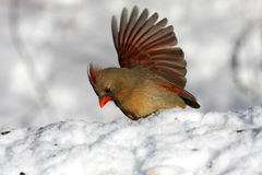 Northern Cardinal female Royalty Free Stock Photo