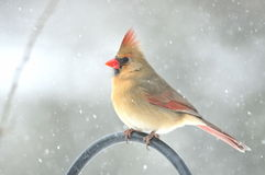 Northern Cardinal,Female. A female northern cardinal during a snow storm stock image
