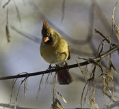 Northern Cardinal Female Stock Photo