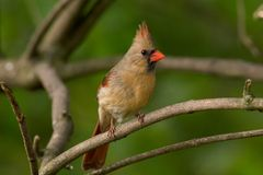 Northern Cardinal - Female Stock Photo