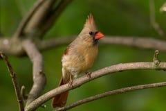 Northern Cardinal - Female Stock Photo