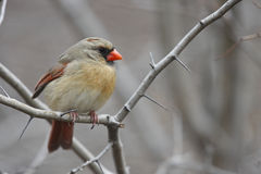 Northern Cardinal Female. Northern Cardinal (Cardinalis cardinalis cardinalis), female sitting on open branch in winter Royalty Free Stock Image