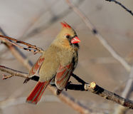 Northern Cardinal female Stock Image