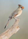 Northern Cardinal Stock Image