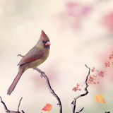 Northern Cardinal Female Stock Photography