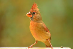 Northern Cardinal -female (Cardinalis cardinals) Stock Images
