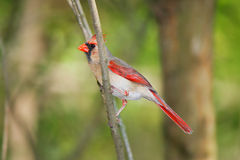 Northern Cardinal, Female Stock Images