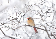 Northern Cardinal female perched on a branch in winter snowfall Stock Images