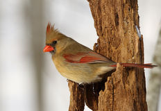Northern Cardinal. Female northern cardinal perched on tree snag Stock Photography