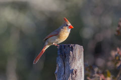 Northern Cardinal Female. Female Redbird on dead tree Royalty Free Stock Photography