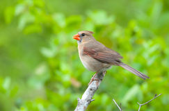 Northern Cardinal, Female Royalty Free Stock Images