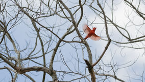 Northern Cardinal Flying Stock Photography