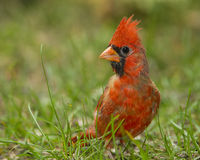 Northern Cardinal on the Ground. Northern Cardinal (Cardinalis cardinalis) perched on a lawn - Ontario, Canada stock photography