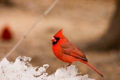 Northern Cardinal on Ice. / Snow pile - Cardinalis cardinalis stock images