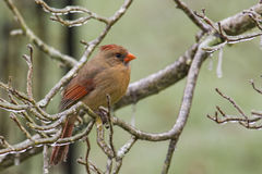 A Northern Cardinal in an ice storm. Royalty Free Stock Photo