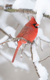 Northern Cardinal In Snowstorm Royalty Free Stock Photos