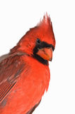 Northern Cardinal Isolated Royalty Free Stock Photo