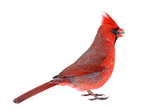Northern Cardinal Isolated Royalty Free Stock Images