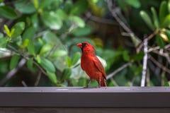 Northern Cardinal, J.N. Ding Darling National Wildlife Refug. Northern Cardinal & x28;Cardinalis cardinalis& x29;, J.N. Ding Darling National Wildlife Refuge Stock Photo