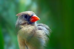 Female northern cardinal bird hidden between blurry green jungle forest leaves Stock Photos