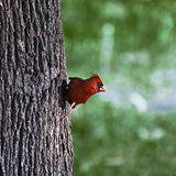 Northern Cardinal, Male Royalty Free Stock Photography