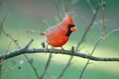Northern Cardinal(male) stock image
